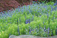 Forget-Me-Nots, Ajuga and Horsetail Ferns