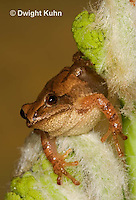 FR16-560z  Spring Peeper on young unfolding ferns, Hyla crucifer or Pseudacris crucifer