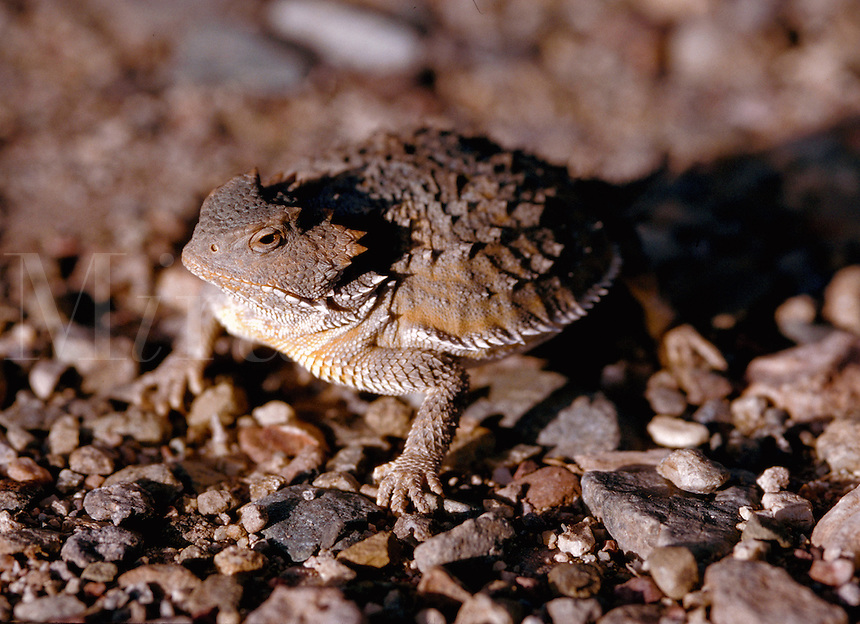 Profile portrait of a Short-horned lizard (Phrynosoma douglassi -family Iguanid). Arizona.