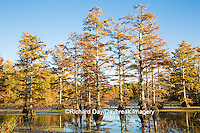63895-14215 Baldcypress trees in fall, Horseshoe Lake State Fish and Wildlife Areas, Alexander Co., IL