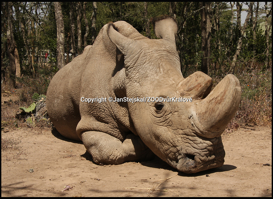 BNPS.co.uk (01202 558833)<br /> Pic: JanStejskal/ZOODvůrKr&aacute;lov&eacute;/BNPS<br /> <br /> Sudan - the last male Northern White Rhino.<br /> <br /> Experts will use the sperm from Sudan the last remaining Northern White male rhino to fertilize the eggs of the Longleat rhino.<br /> <br /> A last-ditch bid is taking place involving a British safari park to save the world's rarest animal from extinction using a pioneering IVF treatment.<br /> <br /> There are only three northern white rhinos left in the world after the species has been virtually wiped out due to poaching over the last 50 years.<br /> <br /> The last remaining male, Sudan, is 43-years-old and reaching the end of his life. Both surviving females have medical problems which prevent them from conceiving naturally.<br /> <br /> As a result, team of experts have visited Longleat Safari Park in Wiltshire and harvested nine eggs from the zoo's three female southern white rhinos which will be fertilised with semen extracted from Sudan.