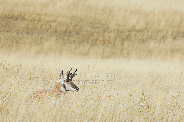 Pronghorn, Antilocapra americana, male laying in grass, Yellowstone NP,Wyoming, September 2005