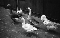 Besana in Brianza (Monza). Oche. Geese