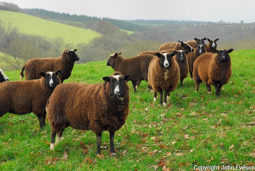 Zwartbles ewes.