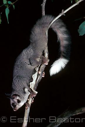 Sugar Glider (Petaurus breviceps). Southeastern Australia.