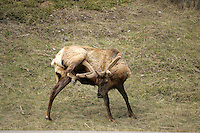 The reindeer, known as caribou when wild in North America, is an Arctic and Subarctic-dwelling deer (Rangifer tarandus)