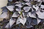 Sweet Heart Purple Ornamental Sweet Potato, Ipomoea hybrid