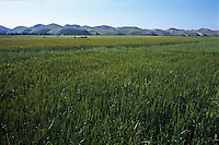 Wheat Crops in Afghanistan