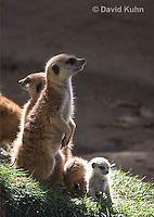 0329-1020  Meerkat with Baby (Pup), Suricata suricatta  © David Kuhn/Dwight Kuhn Photography.