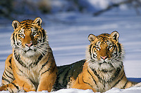 4MR1095  Siberian Tiger Pair in snow. (cap)
