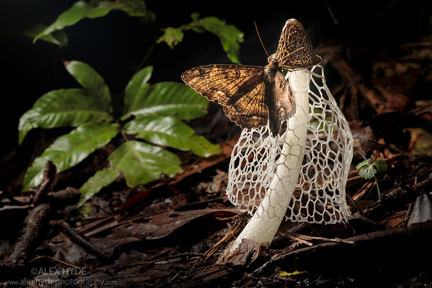 Moth feeding on Bridal Veil Stinkhorn (Phallus indusiatus), growing on rainforest floor. The fungal fruiting body gives off a pungent odour that attracts a wide range of invertebrates, which help disperse the spores. Manu Biosphere Reserve, Amazonia, Peru. November.