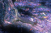 The perentie (or perente) (Varanus giganteus) is the largest monitor lizard or goanna native to Australia, and fourth-largest living lizard on earth. Northern Territory - Australia