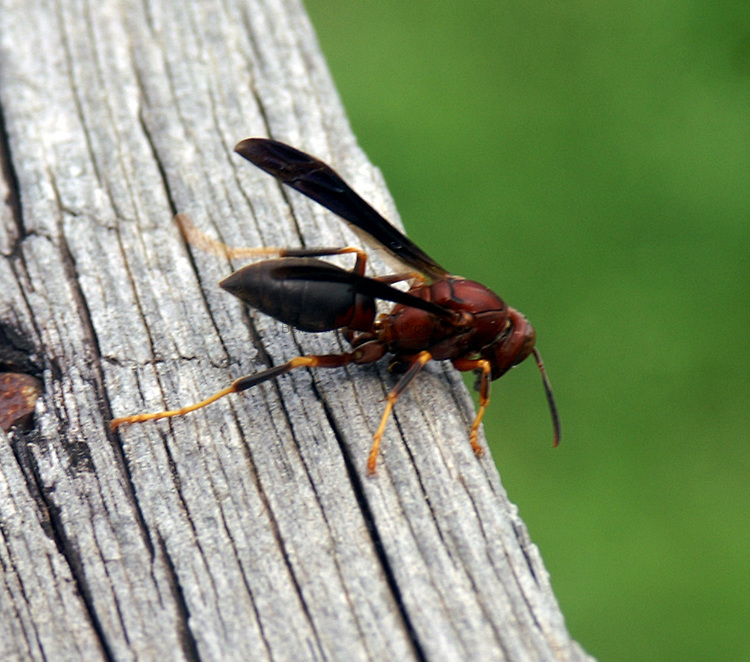 Brown wasp - Polistes fuscatus - nibbling on aged wood.