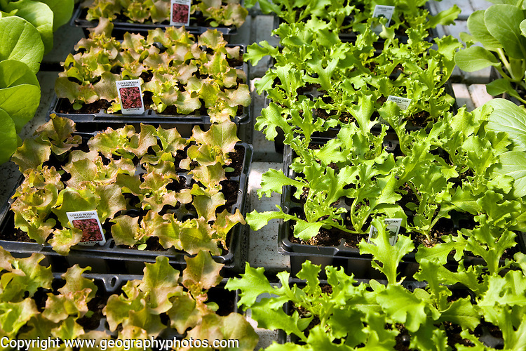 Seed trays of lettuce plants
