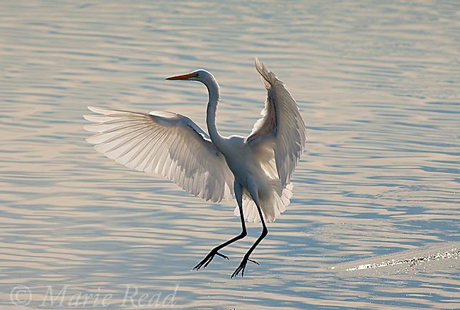 Great Egret (Ardea alba), landing in water with sunlight shining through its wings, Bolsa Chica Ecological Reserve, California, USA