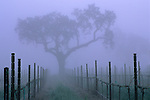 Oak tree and fog in vineyard in spring, near Villa Toscana, Paso Robles, San Luis Obispo County, California