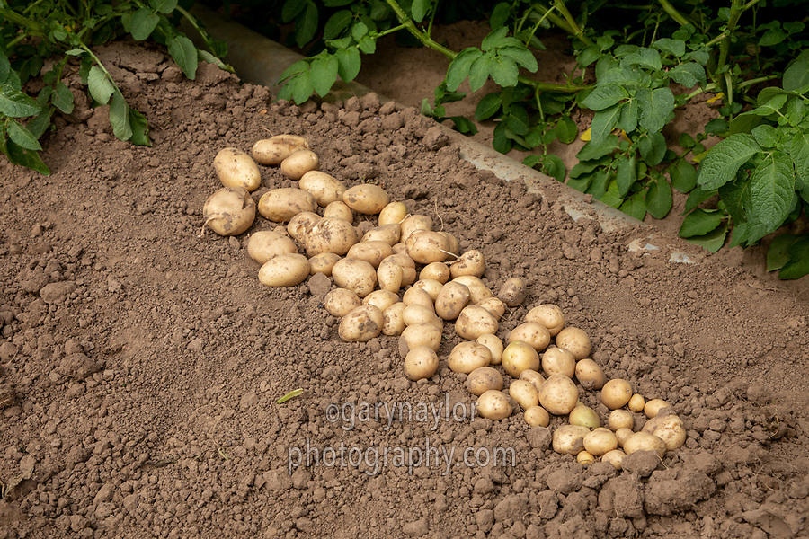 Sample of potatoes irrigated with drip - Lincolnshire, July