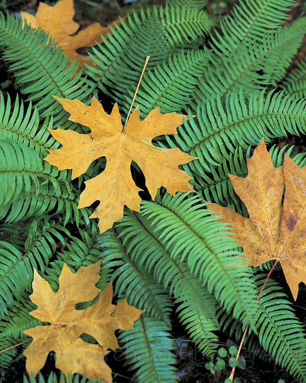 Maple leaves with Fern leaves, Mendocino California