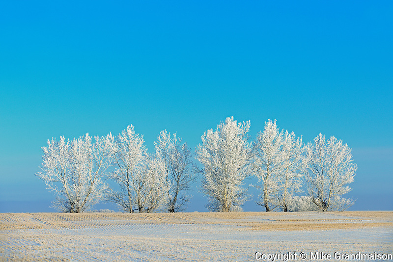 Hoarfrost on trees , Near Moose Jaw, Saskatchewan, Canada