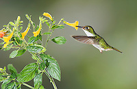 Female Booted Racket-tail hummingbird, Ocreatus underwoodii, feeds on a flower in Tandayapa Valley, Ecuador