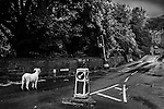 Afternoon rainy day shot of a sheep apparently waiting for some temporary traffic lights to change.  Mount Road Marsden West Yorkshire.
