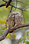 Loved up owls in display of affection