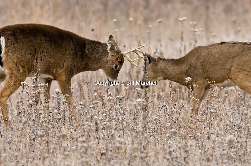00274-329.20 White-tailed Deer Buck: Two young bucks are sparring in meadow during fall rut.  Note main on smaller buck.  Hunt.  H5E