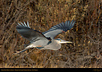 Great Blue Heron in Flight, Bosque del Apache Wildlife Refuge, New Mexico