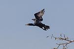 An adult Double Crested Cormorant, Phalacrocorax auritus, in flight in the Atchafalaya Basin in south Louisiana, USA.