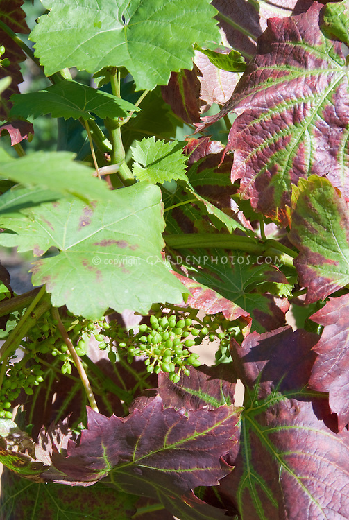 Grape 'Queen of Esther' (Vitis vinifera) B