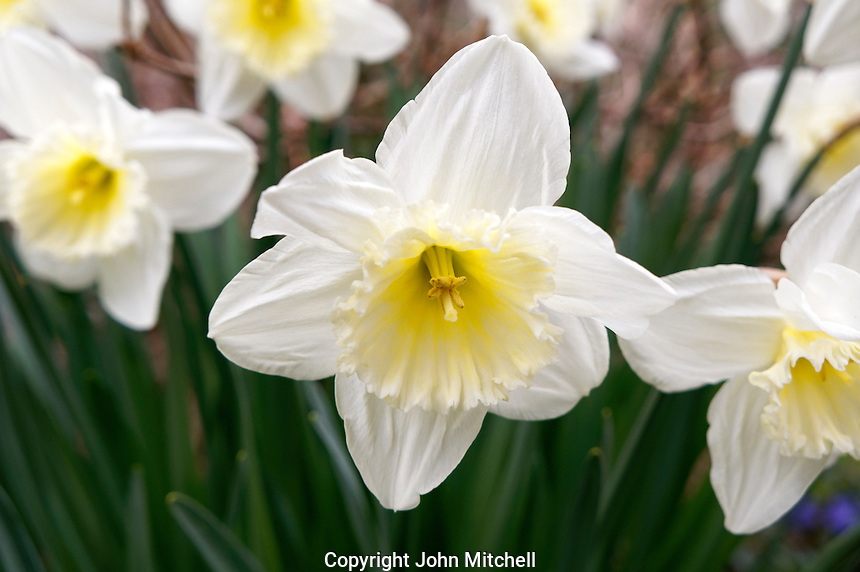 White and yellow Narcissus pseudonarcissus daffodil in spring
