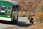 A bus encounters a brown bear, Denali National Park, Alaska, USA