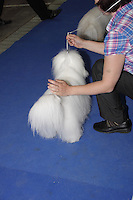 Coton de Tuleard, photographed from the back, standing on a blue carpet in the show ring, at the international dog show in Prague in May 2014. The handler wearing a blue,white and red shirt, holding the white lead to the dog, just before the showing starts.