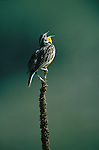Meadowlark calling from a perch in Nebraska.