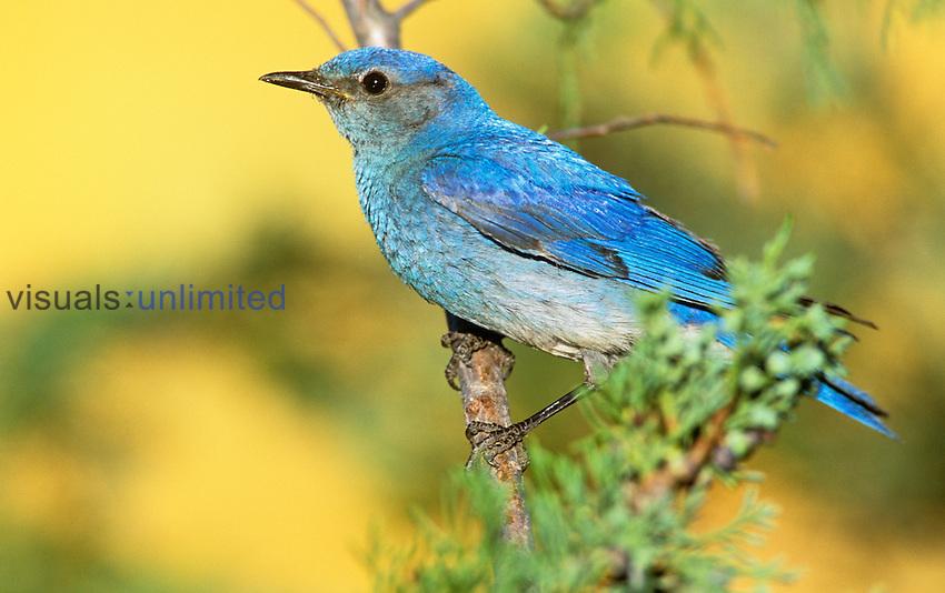 Male Mountain Bluebird (Sialia currucoides) in a Cedar. Western USA.