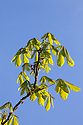 Horse Chestnut {Aesculus hippocastanum} leaves emerging from buds. Peak District National Park, Derbyshire, UK. MAy