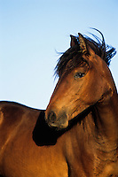 Two year old wild horse (Equus caballus).  American West.