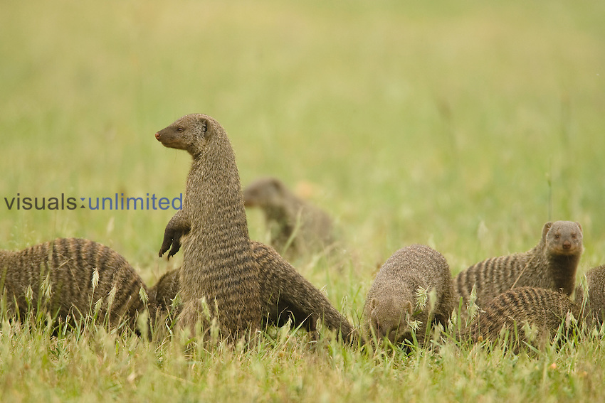 Group of Banded Mongoose (Mungos mungo), Serengeti, Tanzania