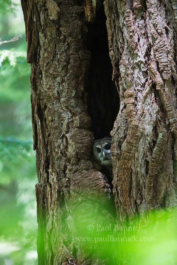 A Northern Spotted Owl peers from a cavity in an ancient Douglas  Fir.