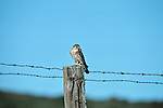 Merlin perched on a fence post with prey in beak.