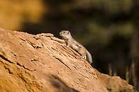 White-tailed Antelope Squirrel (Ammospemophilus leucurus), Southwestern U.S., fall.