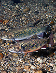 Eastern Brook Trout females, 2 shot, vertical