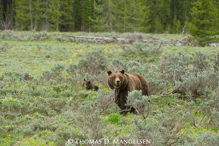 Grizzly 399 and her cub stand among sagebrush in Grand Teton National Park, Wyoming.