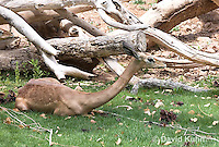 0523-1112  Gerenuk, Resting, Litocranius walleri  © David Kuhn/Dwight Kuhn Photography