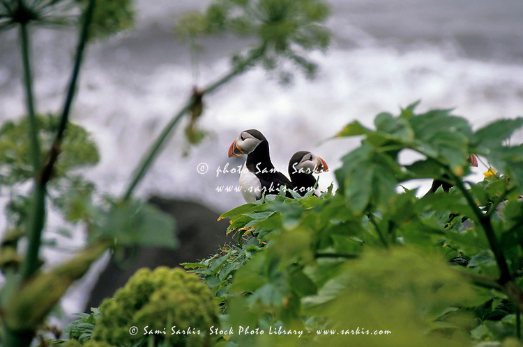 Couple of puffins perched on a rock, Vik, Iceland.