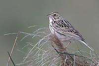Baird's Sparrow - Ammodramus bairdii