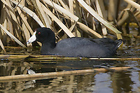 American Coot on a pond in the spring