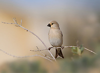 Desert Finch - Rhodospiza obsoleta<br /> female