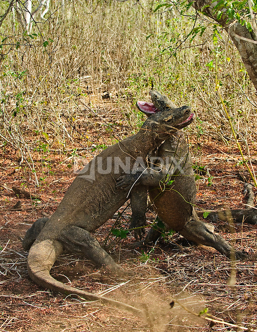 Size matters. Male Komodo dragons engage in ritualized battle to secure mating rights.