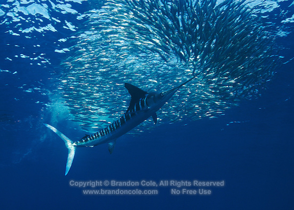 qf0436-D. Striped Marlin (Tetrapturus audax) feeding on Pacific Sardines (Sardinops sagax) slashes with bill, trying to separate one fish from the school. Baja, Mexico, Pacific Ocean..Photo Copyright © Brandon Cole. All rights reserved worldwide.  www.brandoncole.com..This photo is NOT free. It is NOT in the public domain. This photo is a Copyrighted Work, registered with the US Copyright Office. .Rights to reproduction of photograph granted only upon payment in full of agreed upon licensing fee. Any use of this photo prior to such payment is an infringement of copyright and punishable by fines up to  $150,000 USD...Brandon Cole.MARINE PHOTOGRAPHY.http://www.brandoncole.com.email: brandoncole@msn.com.4917 N. Boeing Rd..Spokane Valley, WA  99206  USA.tel: 509-535-3489